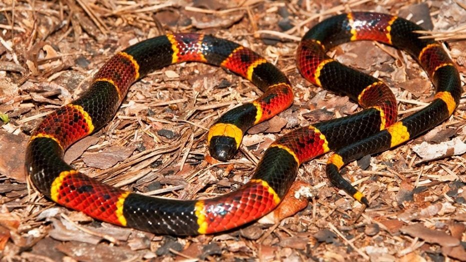 Father is paralyzed after being bit by coral snake