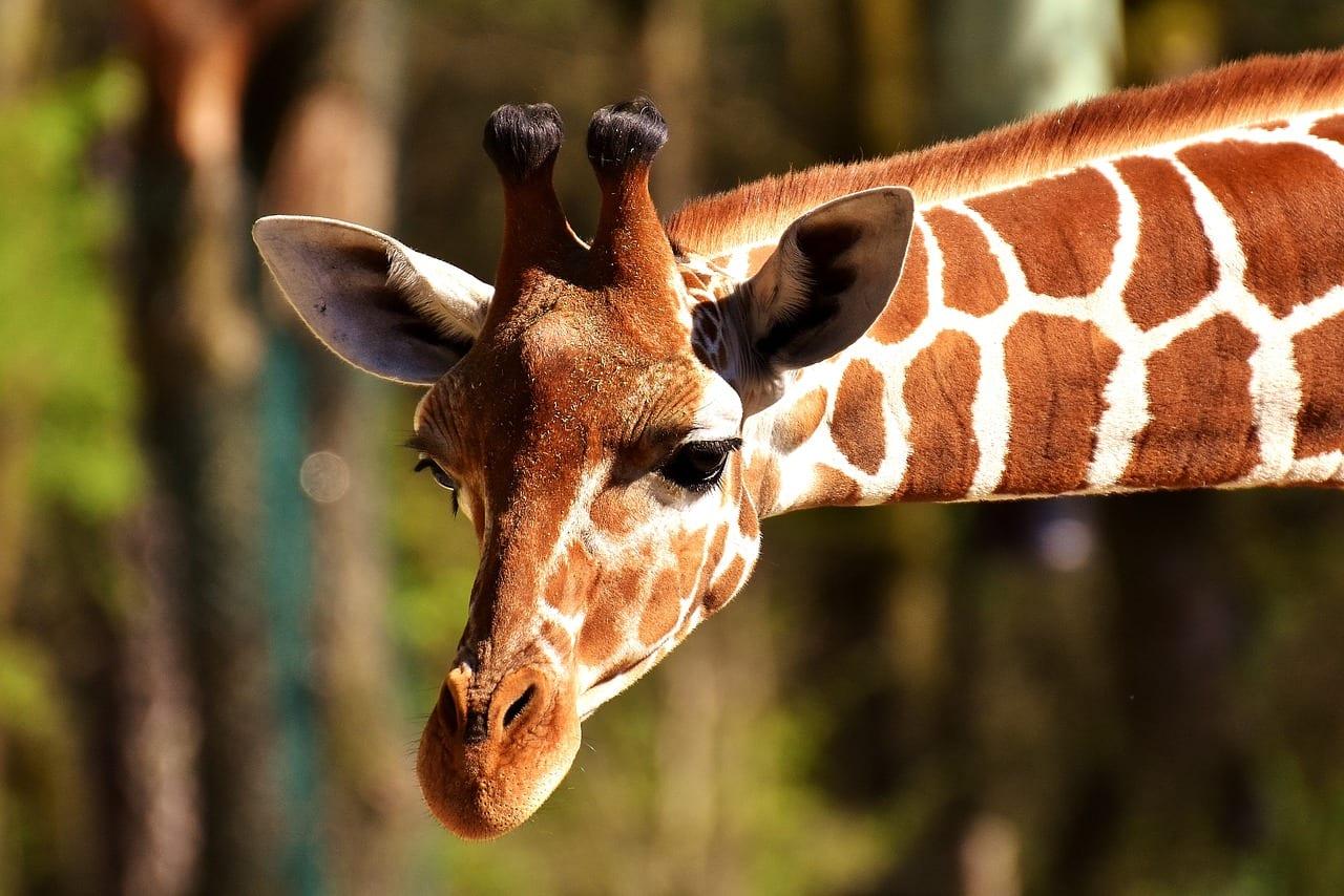 Giraffes are Endangered!