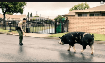 Run Away Pig Saved By Doritos