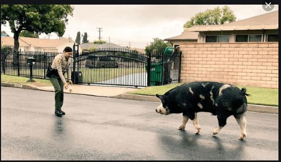 Run Away Pig Saved By Doritos