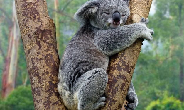 Koalas Aren't Extinct, but Their Future Is In Danger, Experts Say