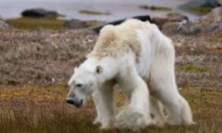 Climate Change and Polar Bears